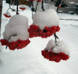 Snow on Rowan Berries