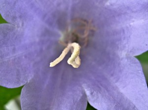 canterbury bell has a seed forming