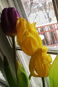 tulips in window 2