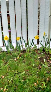 Daffodil line up